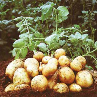 zadrugari-krumpir